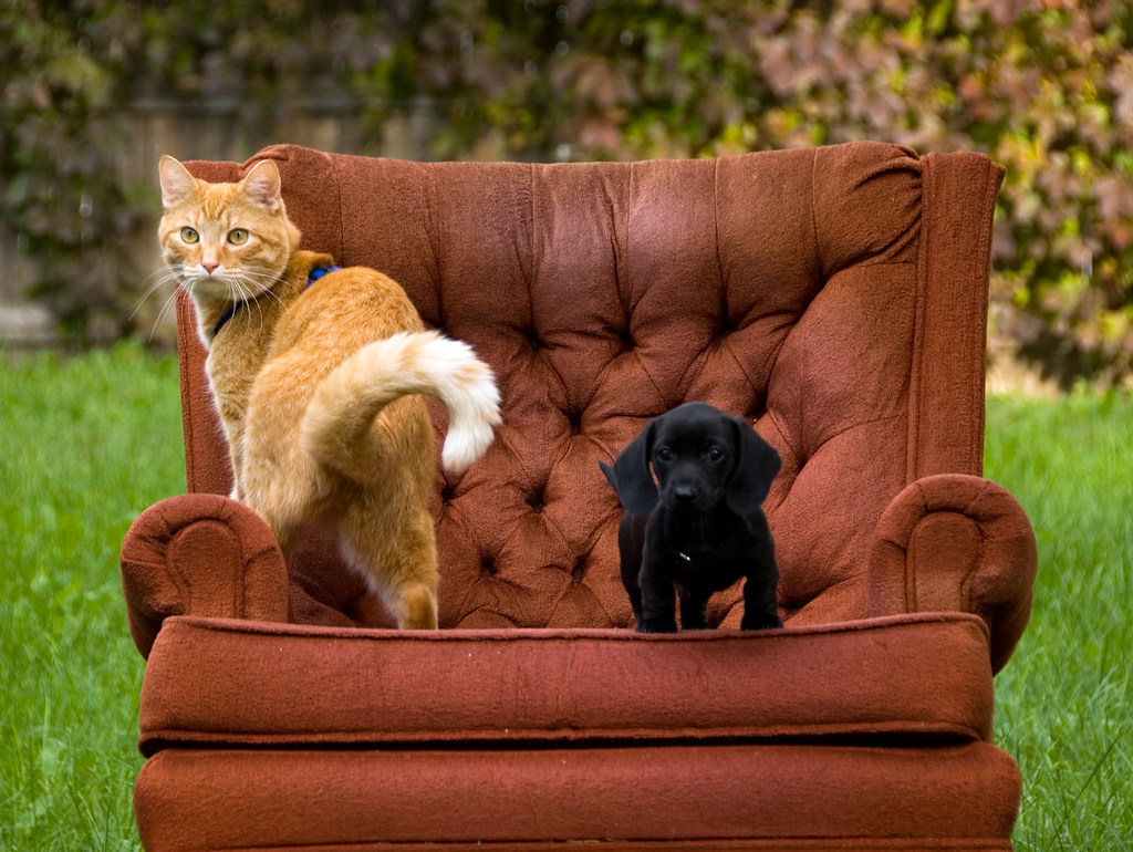 как познакомить котенка и взрослую собаку