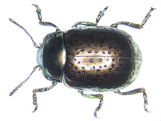 Chrysolina bicolor (Fabricius, 1775)