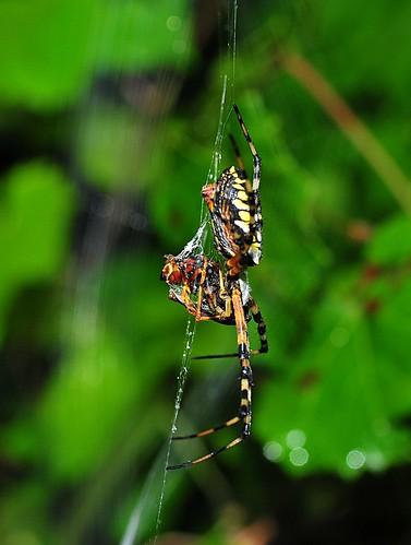 macro nature animal spider florida araignée arachnida argiope plantcity