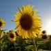 Girassol - Sunflower by Alessandro Oliveira