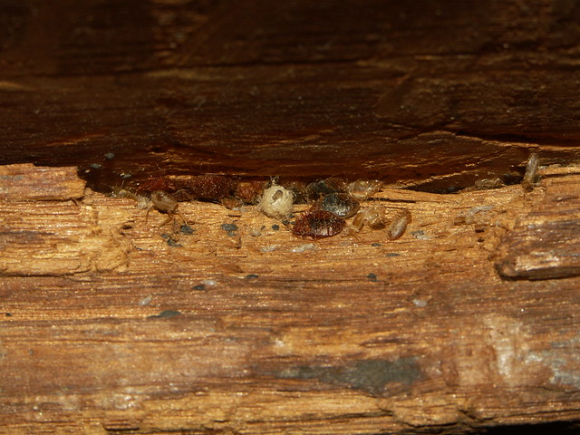 can flea eggs live in hard wood floors hd pictures - Can Flea Eggs Live In Hard Wood Floors - Wood Floors