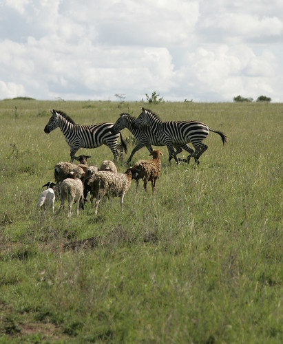 Kitengela rangeland in Kenya: Wildlife and livestock