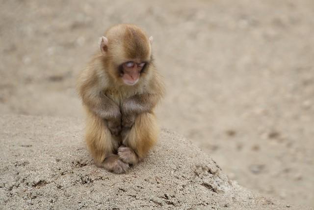 Sleeping Baby Macaque