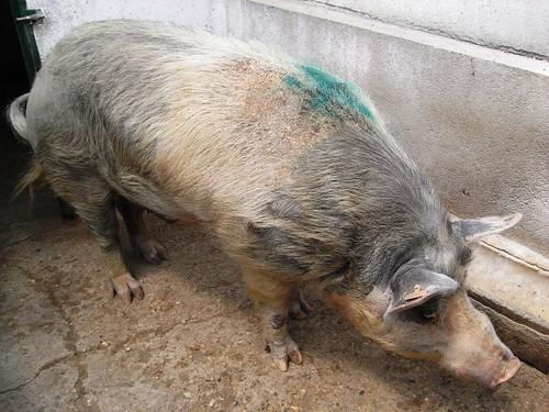 Pedazo de Cerdo Común
