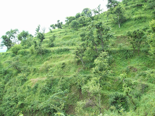 Terrace farming with fodder trees terraces with fodder for Terrace farming definition