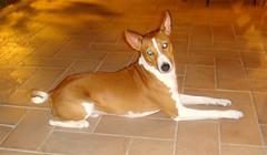 dog breed, animal, hound, dog, pet, ibizan hound, carnivoran, basenji,