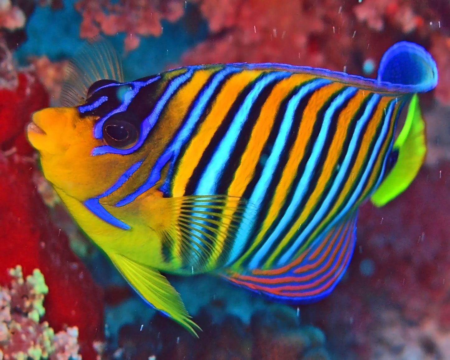 The coral reef royal angelfish olivia k for Saltwater reef fish