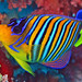 Royal Angelfish (second version)