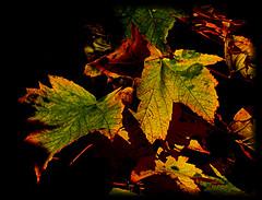 Herbstlaub/Autumn foliage