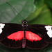 Mountain Longwing (Heliconius hortense)