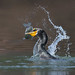 Cormorant and Trout. by BillChenSF