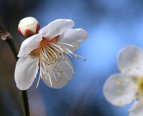 Japanese plum, white flower, la mer
