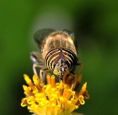 Beautiful eyes Tiger fly -2