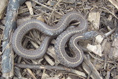 Young Snake
