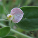 Spanish clover - Photo (c) stonebird, some rights reserved (CC BY-NC-SA)