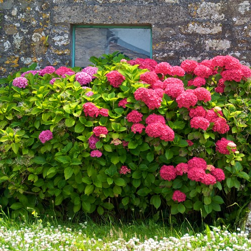 Hortensia association plantes beautiful hortensia - Quand tailler un hortensia ...