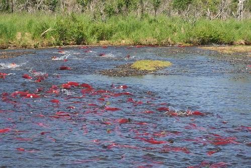 阿拉斯加布里斯托爾灣的紅鮭魚群。(圖:toddraden)