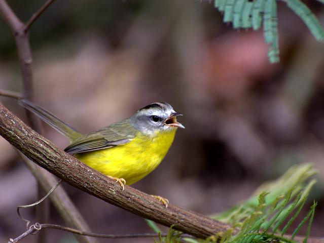 Imagen de una de las aves del Quindio: Arañero Cejiblanco (Basileuterus Culicivorus)
