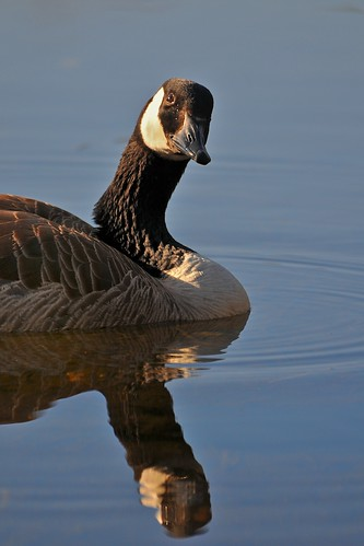 reflection bird nature spring nh goose amherst canadagoose d300 pulpitpond