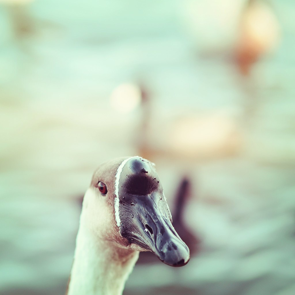 goose with duckeh