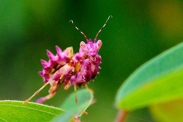 Pink Praying Mantis | Flickr - Photo Sharing!