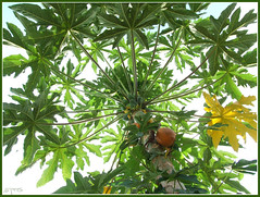 evergreen, papaya, tree, fruit,