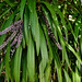 Slender Palm Lily - Photo (c) Tony Rodd, some rights reserved (CC BY-NC-SA)