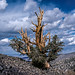 Great Basin Bristlecone Pine - Photo (c) Richard Droker, some rights reserved (CC BY-NC-ND)