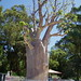 Small photo of Adansonia gregorii. Boab Tree. Kings Park. Perth