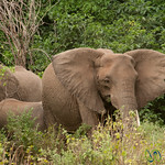 Family of Elephants - Lake Manyara, Tanzania