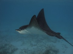 Eagle Ray swimming behind water villa