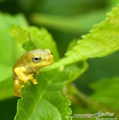 台北树蛙 Taipei Green Tree Frog图片