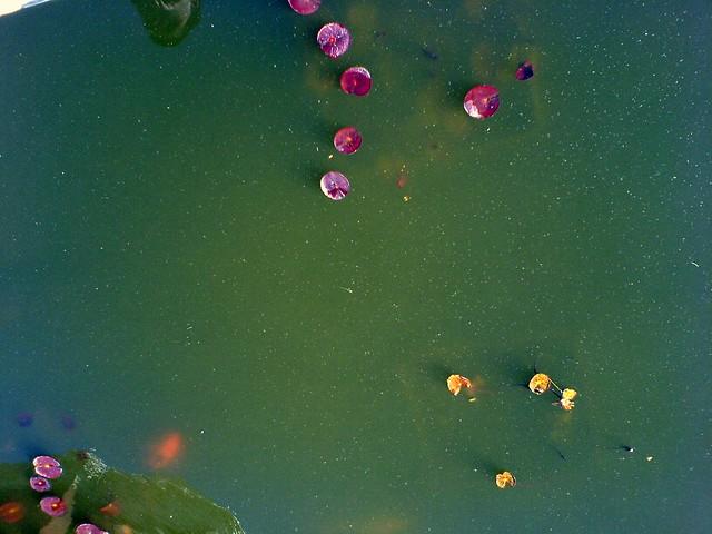 Koi pond flickr photo sharing for Koi pond water murky
