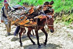 cattle-like mammal(0.0), mule(1.0), pack animal(1.0),