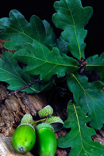 Oak Leaves & Acorns 5, Colorado