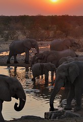 A Gathering of Elephants at Sunset, Etosha National Park, Namibia