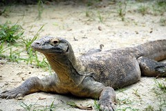 animal, reptile, lizard, komodo dragon, fauna, scaled reptile, wildlife,