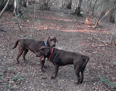animal(1.0), dog(1.0), pet(1.0), mammal(1.0), cane corso(1.0), patterdale terrier(1.0),