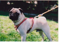 dog breed(1.0), animal(1.0), dog(1.0), pet(1.0), toy bulldog(1.0), carnivoran(1.0), pug(1.0),