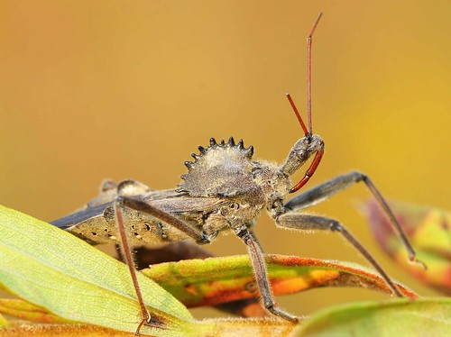 guy bug insect scary leg beak northcarolina bugs claw femur tibia predator assassinbug rostrum wheelbug scaryguy richmondcounty reduviidae tarsus ariluscristatus trochanter specanimal insectleg notyournormalbug predatorybug wheelbugrap