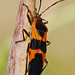 Large Milkweed Bug - Photo (c) Jerry Oldenettel, some rights reserved (CC BY-NC-SA)