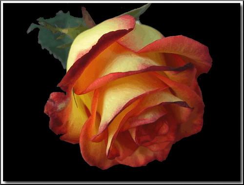 Flickr Rose | Flickr - Photo Sharing!