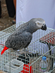 animal, parrot, wing, pet, fauna, beak, african grey, bird,