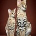 Savannah Cat savannahcatshoppe.com