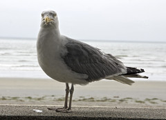 animal(1.0), charadriiformes(1.0), wing(1.0), fauna(1.0), great black-backed gull(1.0), european herring gull(1.0), shorebird(1.0), beak(1.0), bird(1.0), seabird(1.0), wildlife(1.0),