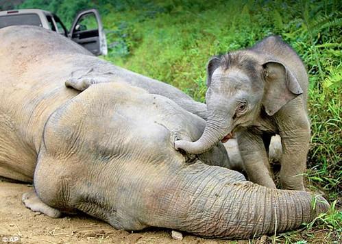 馬來西亞婆羅洲侏儒象,幼象企圖使中毒死亡的母象復活。(圖片來源:沙巴州野生動物保護處Sabah Wildlife Department)
