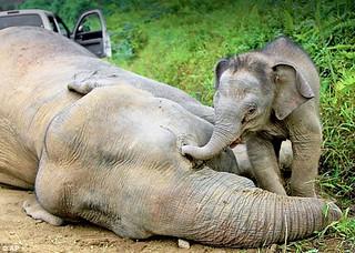 馬來西亞婆羅洲侏儒象,幼象企圖使中毒死亡的母象復活。(圖片來源:沙巴州野生動物保護處/Sabah Wildlife Department)