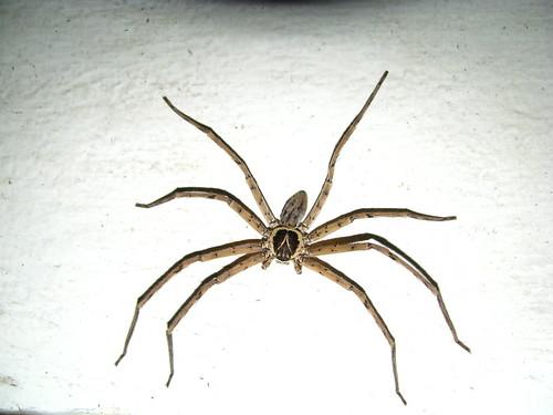 Huntsman Spider Size Huntsman Spider...