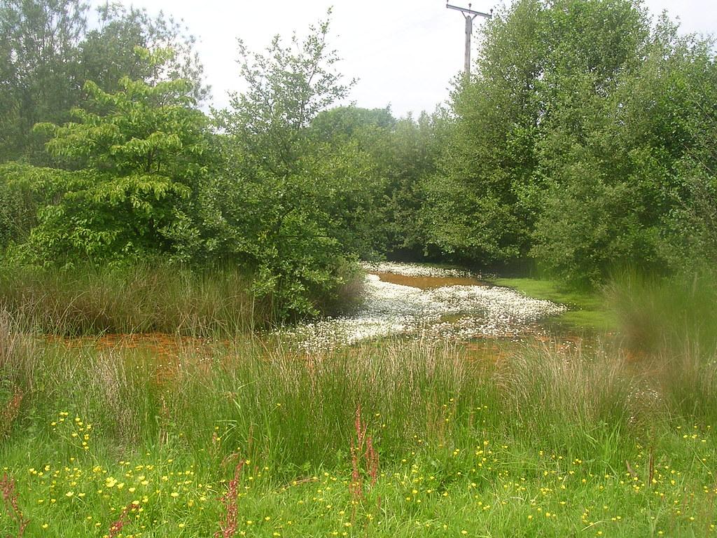 Water Crowfoot The white stuff in the pond. East Grinstead Circular via Weirwood Reservoir