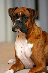 olde english bulldogge(0.0), toy bulldog(0.0), dog breed(1.0), animal(1.0), dog(1.0), old english bulldog(1.0), dogue de bordeaux(1.0), pet(1.0), carnivoran(1.0), boxer(1.0), bullmastiff(1.0),